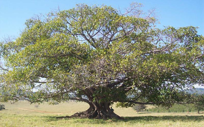Macumbeira ou Macumbe, nome de uma espécie de árvore nativa da África.